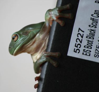 Green Tree Frog on shoebox by Digimaree