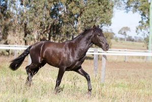 HH Andalusian trot sideview by Chunga-Stock