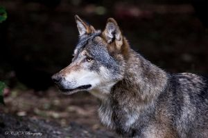 Wolf_Face by PiTurianer