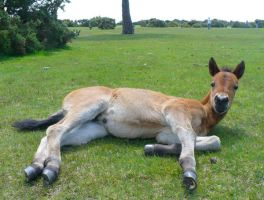 New Forest Foal by Aura3107