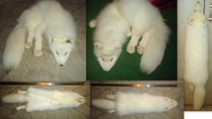 NEW ARCTIC FOX FOR SALE!!!!SOLD by munchengirl