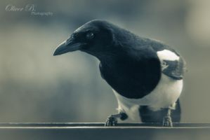 Thieving Magpie by OliverBPhotography