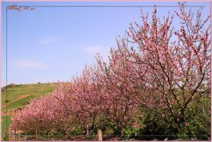 Pink almond trees by ShlomitMessica