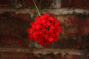 Red Flower Against Brick Wall by Jordanart4peace