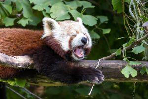 Tired Red Panda by morgh-us