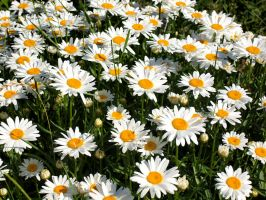 Daisies by Saxophrenic25