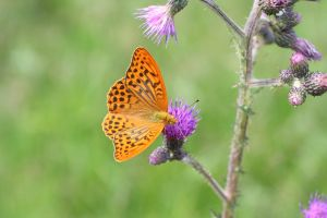 The Silver-washed Fritillary by runear
