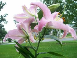 Pink Lilies. by BloodStainedSharpie