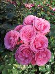 Pink Rose Clump 5 by MahniAliceSkaggs