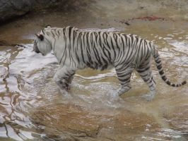 White Tiger 01 by dlc-nature-stock