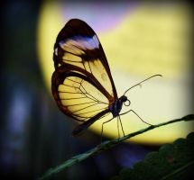 Glasswing butterfly by Michelle-xD