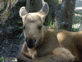 Baby Moose 3 by decors