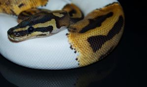 Piebald Ball Python: Archer by Phoenix-Cry