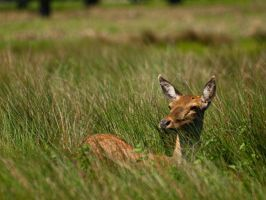 Red Deer Hind 00 - May 12 by mszafran