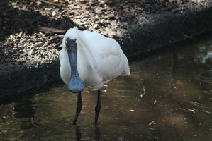 SpoonbillMelbourne2-Stock by SilkenWebs
