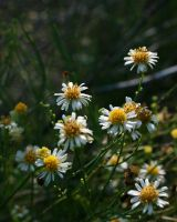 Tiny Daisies by siobhanleigh