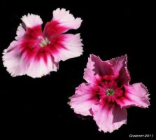 Dianthus by ghazoot