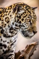Baby Kahn Jag by 904PhotoPhactory