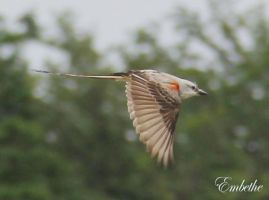Scissored-Tailed Fly Catcher in Flight by embethe