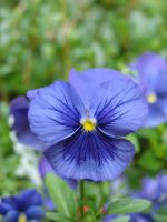 Pansy Flower Blossom by FantasyStock