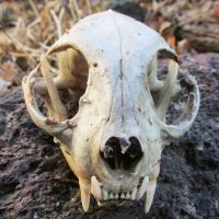 Domestic Cat Skull by kazscreations