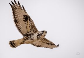 Rough legged hawk - Soar by JestePhotography