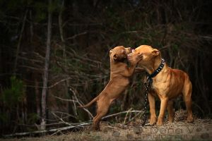 Pitbulls 2 by dvineyard