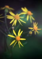 Spring Yellow Stars by photorip