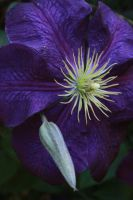 Clematis by FrancesColt