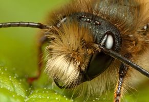 Miner Bee portrait by Alliec