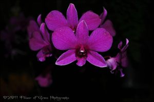 Dendrobium phalaenopsis  View 2 by Flower-of-Grace