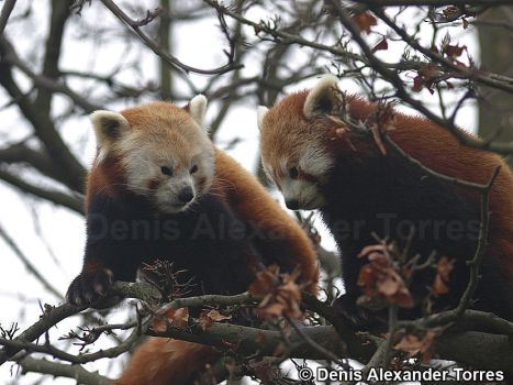 Red Pandas by torreoso