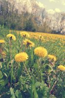 Dandelion Fields Forever by soldierofsolace