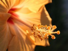Morning Hibiscus by torchdesigns