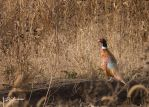 Fall Rooster by DGAnder