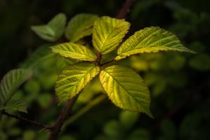 Bramble Leaf by DaveJones-Photograpy