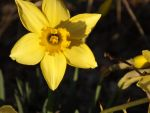 Heart-Shaped Daffodil by 4TheLoveOfNature