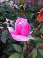 Fresh Pink Rose by dreamingshadow18