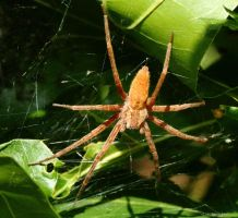 Nursery-web Spider by natureguy