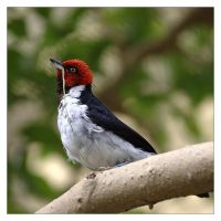Red Capped Cardinal by Karl-B