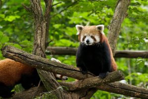 Red Panda by duncan-blues