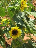 Sunflower 02 by Party-Hat-Cat