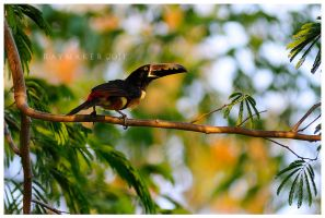 Fleeting Aracari by Raymaker