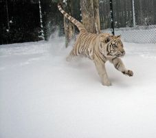 Tiger Running in Snow by fennecx