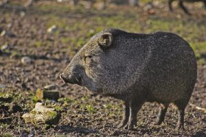 collared peccary by tash23