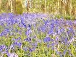 Bluebells in Burton Constable Woods 4 by RoseSparrow