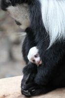 melbourne zoo: colobus by striffle