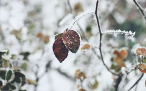 snow leaf by Zim2687