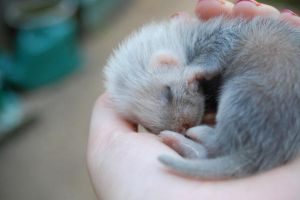 baby girl ferret by XxEmilyRosexX