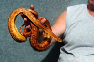 Rat Snake by FurLined